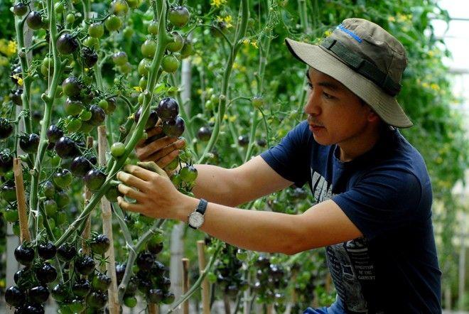 Giựt mình với vườn cà chua đen chỉ có ở Đà Lạt | Bài viết | Foody.vn