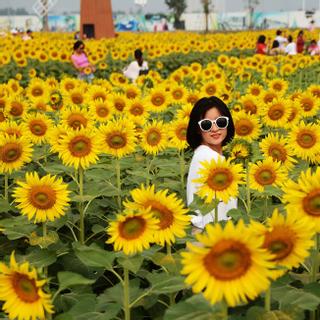 Người Sài Gòn kéo nhau đến vườn hoa hướng dương khủng ở ngoại thành