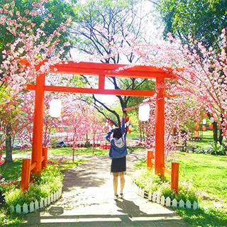 Phát hiện CON ĐƯỜNG HOA ANH ĐÀO đẹp như Nhật Bản ngay sát SG