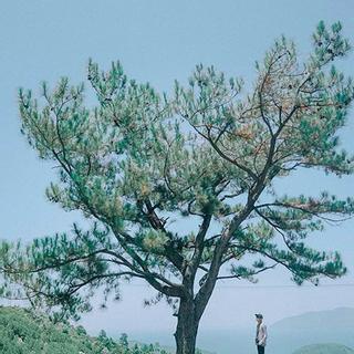 Check in ngay cây thông cô đơn đang hot bung trời ở Đà Nẵng