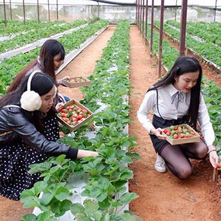 Đến vườn dâu Công nghệ cao Phước Lộc tham quan miễn phí và tự tay hái dâu mua về