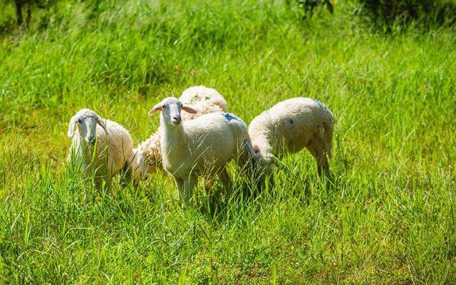 Đồi Cừu Sinh Thái Bưng Riềng