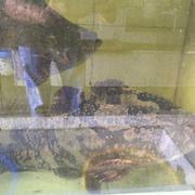 Cá mú