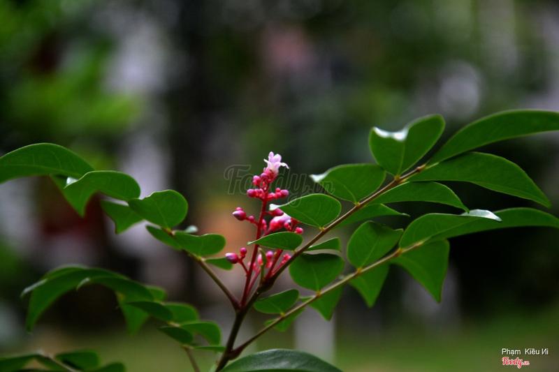 Hoa khế