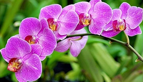 Kết quả hình ảnh cho hoa phong lan