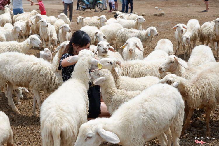 Nông Trại Cừu ở Vũng Tàu
