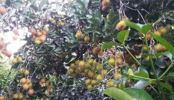Vườn Trái Cây Tư Tuấn
