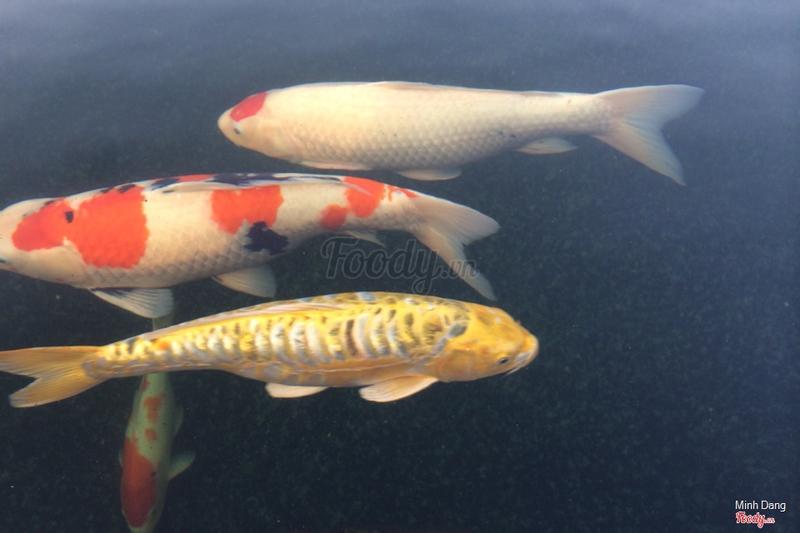 Cá vàng đỏ trắng