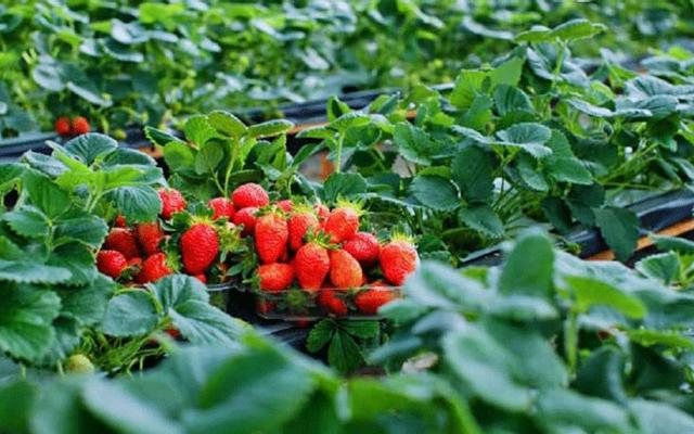 Vườn Dâu Nhật NutriFarm