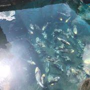 Cá bò Côn Đảo