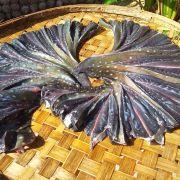 cá vũ nữ 1 nắng