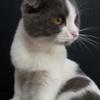 Mèo Miso