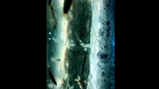 Cá heo nước ngọt
