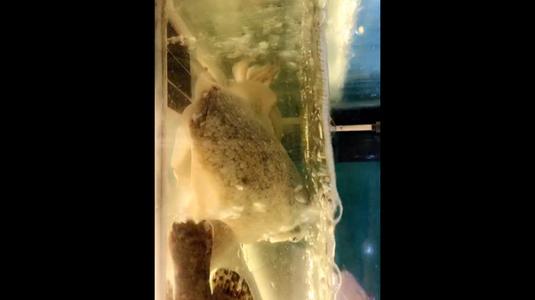 Mực nang bơi sống